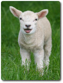 Lamb by Keven Law, available through Creative Commons