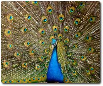 Peacock, photo by Jebulon, available through Creative Commons